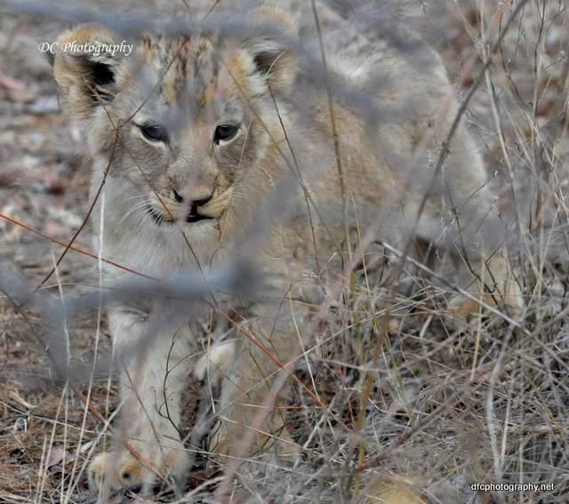 lion-cubs_0546