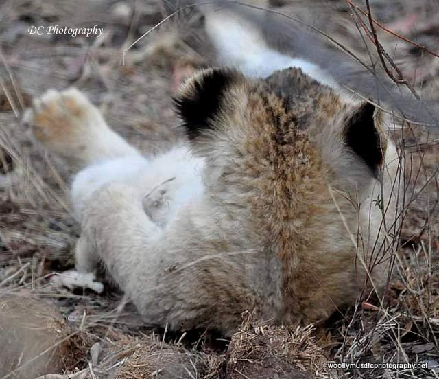 lion-cubs_0558