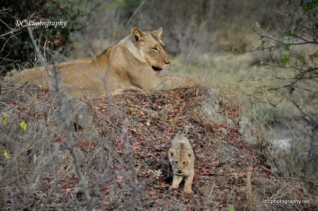 lion-cubs_0675