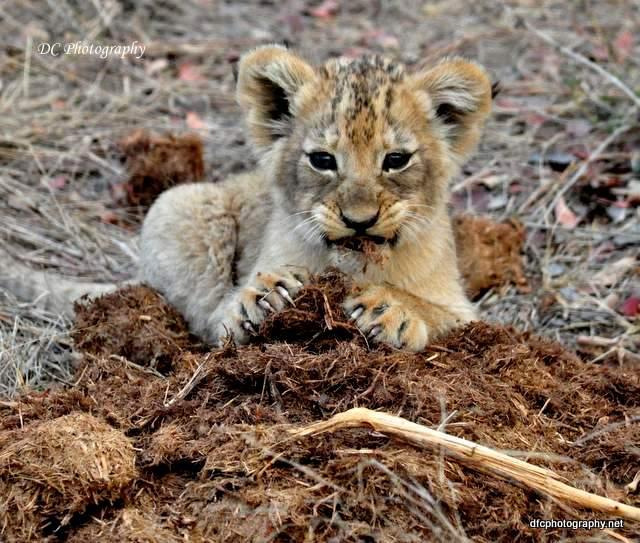 lion-cubs_0707