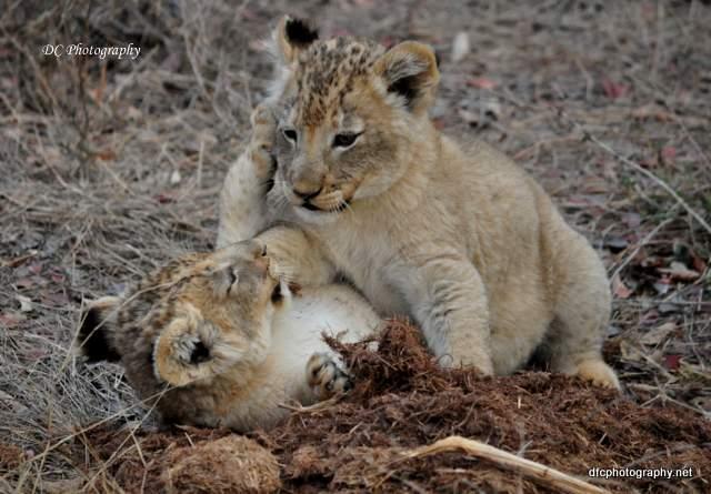 lion-cubs_0727