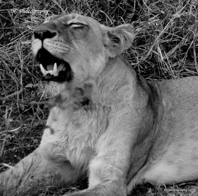 lion_0491