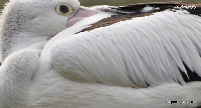 pelican_0060