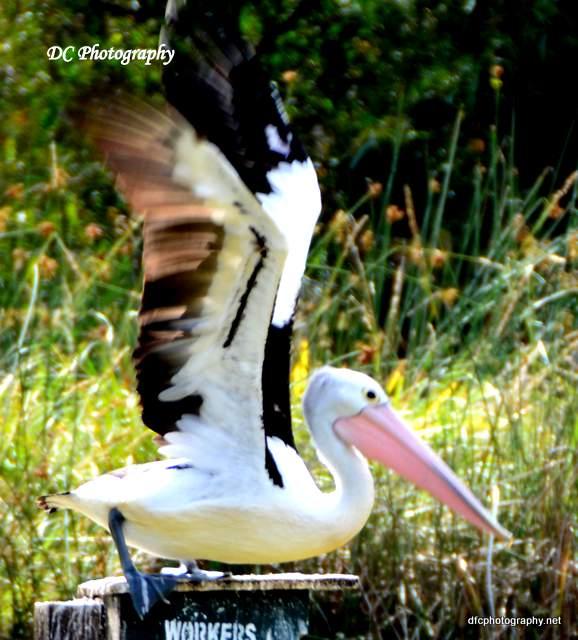 pelican_3035