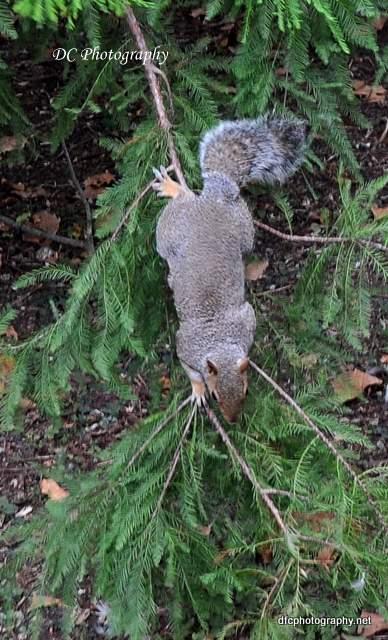 squirrel-st-james-park_0019