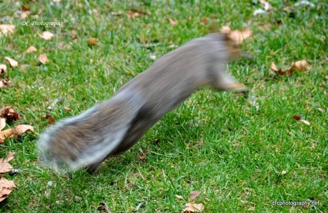squirrel-st-james-park_0026