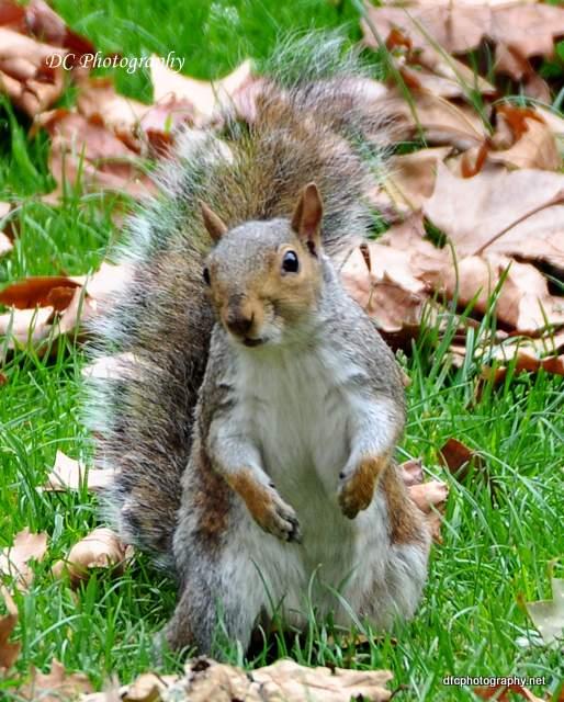 squirrel-st-james-park_0032