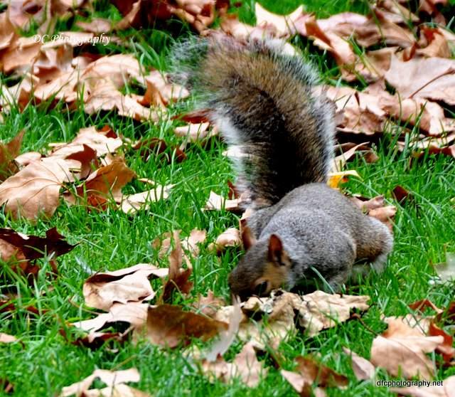 squirrel-st-james-park_0035