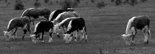 cattle_0014