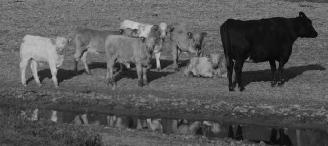 cattle_9553
