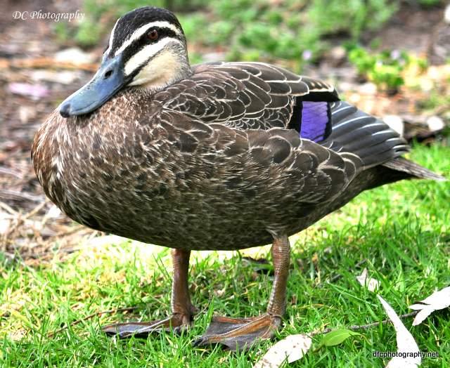 duck_0640