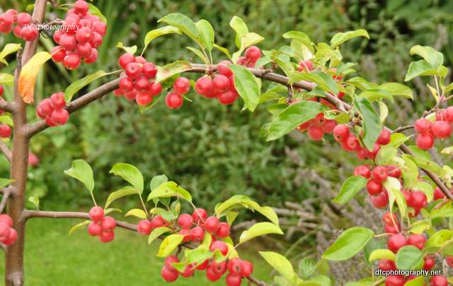 york-cherries_0408
