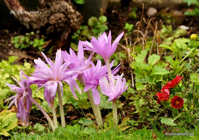 york-crocus_0413