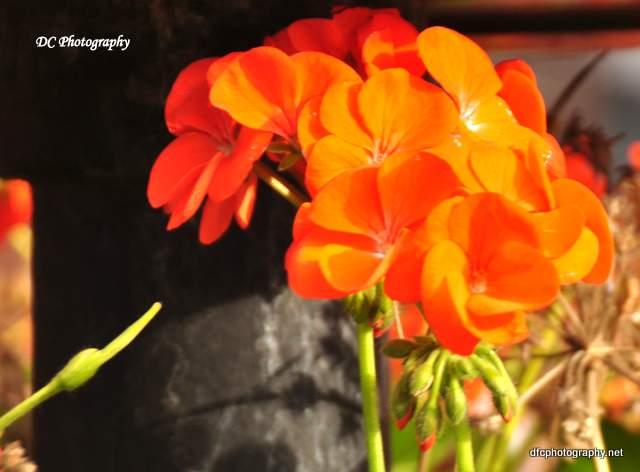 york-flowers_0518