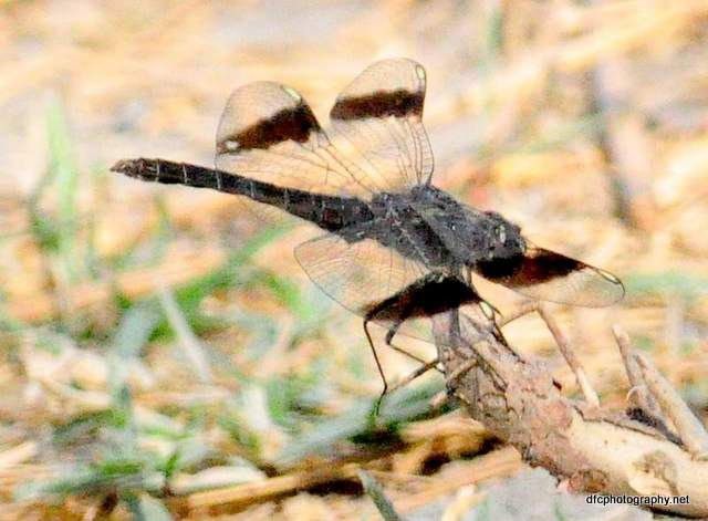 dragonfly_0390