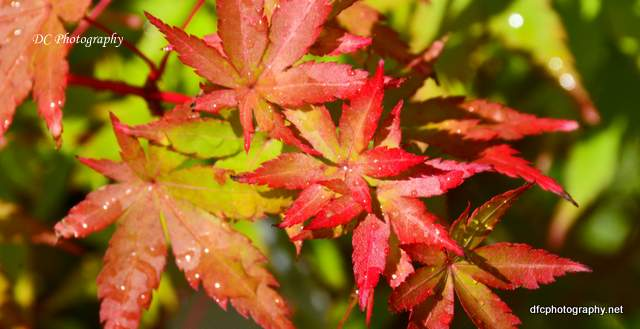 japanese_maple_4224