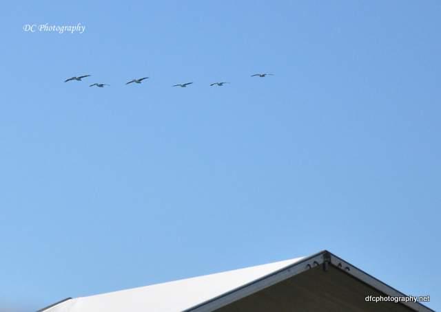 pelican_0271