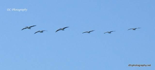 pelican_0272