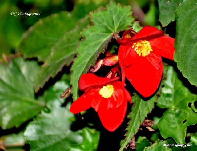 red-geranium-york_0705