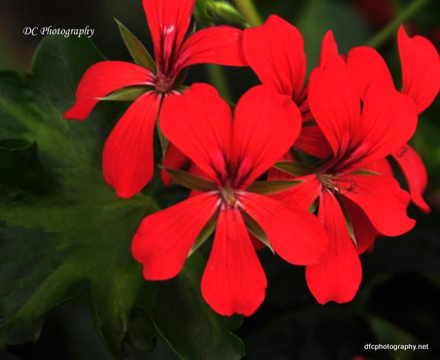 red-geranium-york_0706