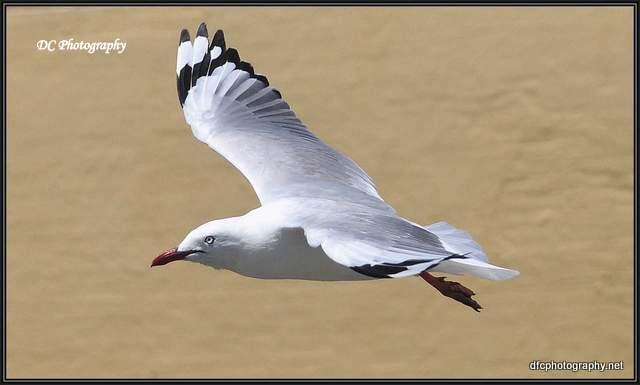 seagull_0763_border