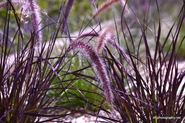 ballarat_flax_4826