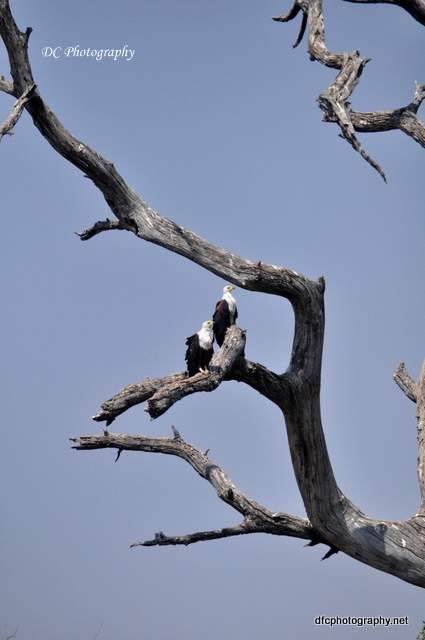 fish-eagles_0577