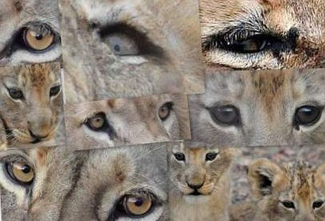 lion_eyes