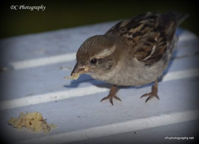 sparrow_4867