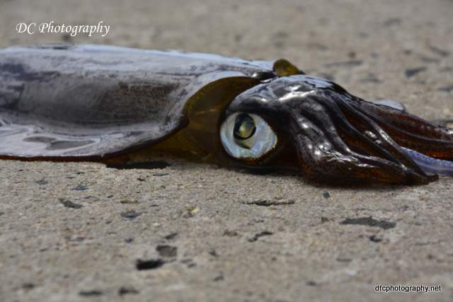 squid_3897