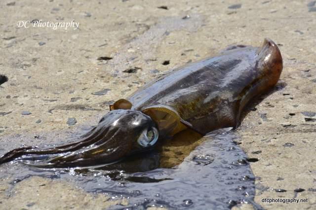 squid_3898