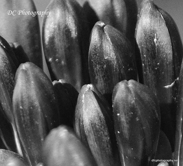 black-agapanthus_0003