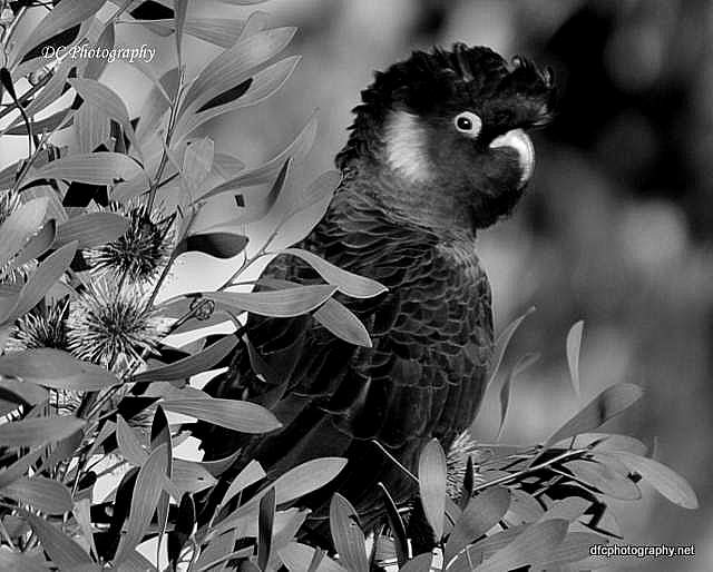 black_cockatoo_0011