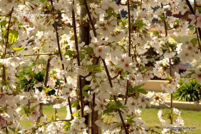 weeping-cherry_7832
