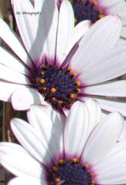 Daisy-Purple_0059a