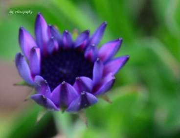 Daisy-Purple_0269