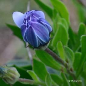 Daisy-Purple_0277
