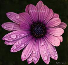 purple-daisy_DSC7287