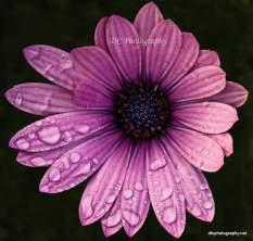 purple-daisy_DSC7287