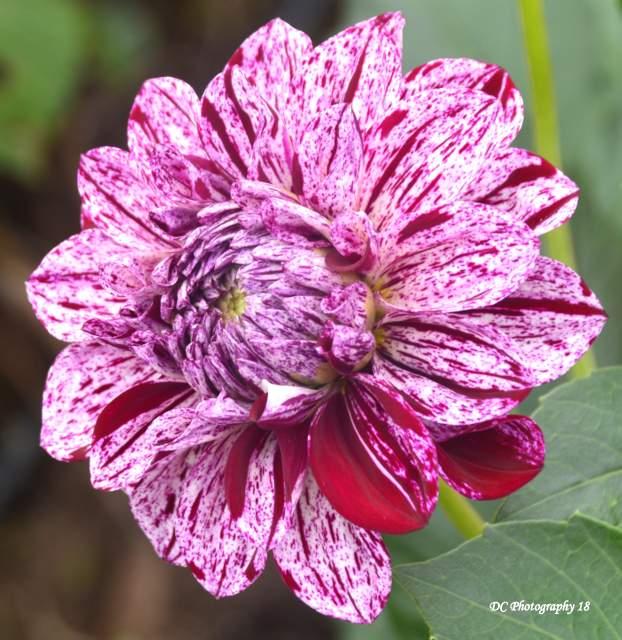 Maroon-Red-Dahlia-Flower_1178