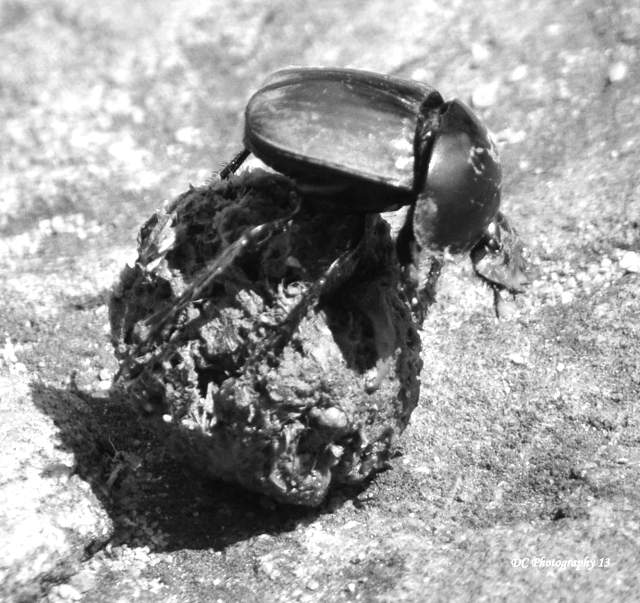This image has an empty alt attribute; its file name is dung-beetle_0169.jpg