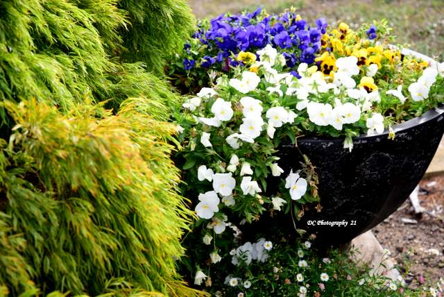 Acacia-Limelight_Pansies_3650